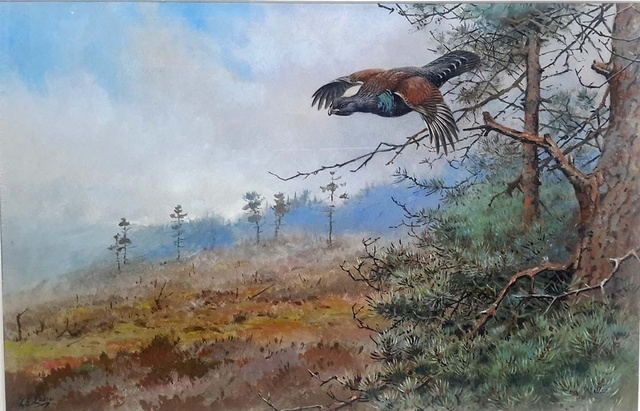 Capercaillie in Flight